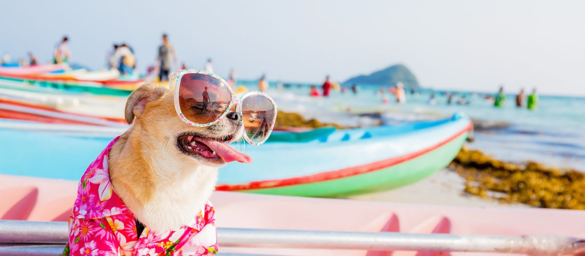 Chihuahua dog wearing sunglasses  on a Kayak at the ocean shore